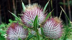 Milk Thistle Is Good for More Than Just the Liver