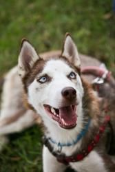 Simaya Madison is an adoptable Siberian Husky Dog in Charlotte, NC. Simaya Madison is a beautiful purebred red Siberian Husky. She is sweet, enthusiastic and energetic. This pup loves licking faces, r...