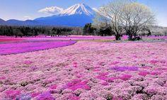 Shibazakura Flowers, Japan 32 Beyond Belief Bucket List Finds