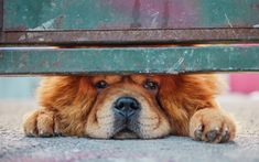 Download wallpapers Chow Chow, guard dog, cute animal, fence, brown dog, 4k