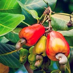 Cashew Nut Fruit Seed, Outdoor Garden Plant Seeds for Growing,Anacardium seeds per pack Cashew Tree, Cashew Apple, Eggplant Plant, Kill Weeds Naturally, Acid Loving Plants, Summer Plants, Organic Seeds, Growing Seeds, Apple Tree