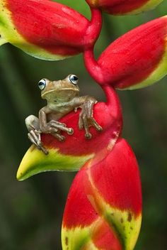 Drab Tree-frog on Heliconia flower