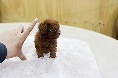 Adorable teacup poodle puppy