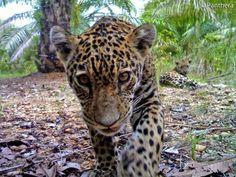 A bela onça pintada : *  A onça-pintada, com pelos amarelados cheios de manchas e anéis negros vive desde o sul dos E. Unidos até o norte da .No Brasil, o grande felino é encontrado em maior número na Amazônia e no Pantanal. Fatos sobre esse belo animal: Também conhecida como jaguar, é o terceiro maior felino do mundo, atrás do tigre e do leão, e  o maior do continente americano. Suas mordidas podem quebrar ...