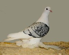 Ice pigeon, muffed (silver chequer).