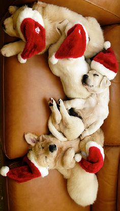 ❤ When puppies sleep --- you can sneak little Santa Hats on them and take cute pictures! Works on Bulldogs too!! ❤