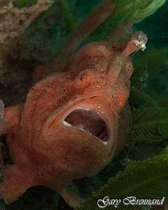 Frogfish  taken on a dive in the Philippines  #underwaterphotography #underwater #underwaterworld #underwaterphoto #underwaterpics #underwaterpictures #underwaterpic #natureaddictsun #naturelovers #nature #natureaddict #uwphotography #uwphoto #loves_underwater #lovediving #aquagallery #scuba #scubadiving #coral #greatbarrierreef #ocean #coralreef #diving #water #watercolor #uw #naturephotography #sea #fish by garybrennand http://ift.tt/1UokkV2