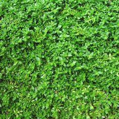 Rupturewort Green Carpet Ground Cover Seeds (Herniaria Glabra) 200+Seeds - Under The Sun Seeds - 2