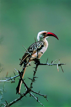 Lake Nakuru National Park_hornbill