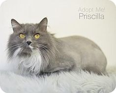 Pictures of Priscilla a Domestic Longhair for adoption in West Des Moines, IA who needs a loving home.