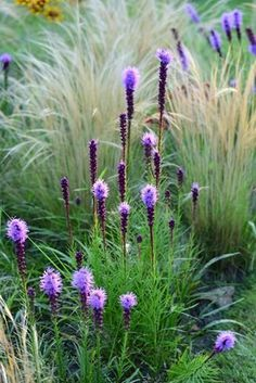 Optional: A few liatris (the purple spike bloom) added into the grasses for a seasonal pop of color. Here is it shown planted amount grasses. - All For Garden Prairie Garden, Meadow Garden, Dream Garden, Garden Cottage, Back Gardens, Outdoor Gardens, Beautiful Gardens, Beautiful Flowers, Ornamental Grasses