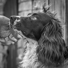 Mutual respect is the key to training. (Working springer spaniel)