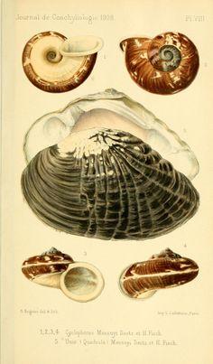 t 56 (1908-9) - Journal de conchyliologie. - Biodiversity Heritage Library