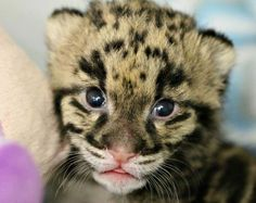 Meet Niron, a Clouded Leopard cub at the Nashville Zoo. Niron is part of a program to save this rare species from extinction. Learn more at ZooBorns.com and at http://www.zooborns.com/zooborns/2017/04/clouded-leopard-cub-opens-his-eyes.html