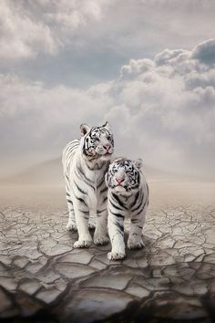 Amazing Big Cats – White Tigers and Lions. So beautiful