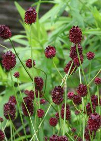 Sanguisorba officinalis 'Chocolate Tip' Green, Plants, Garden, Leaves, Plant List, Flowers, Soil, Garden Plants