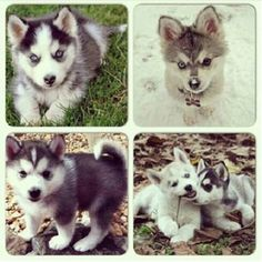 Pomsky puppies - Pomeranian x Husky 'designer' cross. They actually stay this small and cute!!