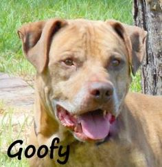 1 / 18     Petango.com – Meet GOOFY, a 6 years 5 months Terrier, Pit Bull / Mix available for adoption in PALM COAST, FL Contact Information Address  1 Shelter Drive, PALM COAST, FL, 32137  Phone  (386) 445-1814  Website  http://www.flaglerhumanesociet y.org  Email  adopt@flaglerhumanesociety.org