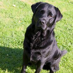 From our i Love Labradors Photo Contest: Labrador Retriever