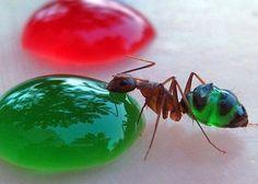 муравьи-краситель-сироп-повтор-1816374.jpeg (1600×1153)