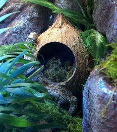 Excited to share this item from my shop: Hide w/Driftwood Moss Coconut Hide perfect for smaller lizard anole crested gecko spider gerbil hamster or mouse coconut hide vivarium Crested Gecko Vivarium, Crested Gecko Habitat, Leopard Gecko Habitat, Lizard Habitat, Leopard Gecko Setup, Terrariums Gecko, Leopard Gecko Terrarium, Snake Terrarium, Les Reptiles
