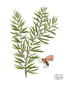 Print: Rosemary Sprig Medium: archival giclee reproduction print, open edition Paper type: 100% cotton rag Size: 11 x 8.5 inches, 28 x 21cm,, vertical