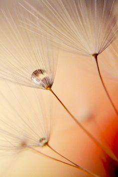water drop inside a dandelion seed in autumn colours