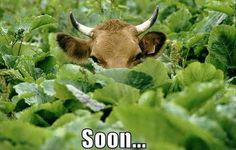 Ninja cow is watching you. Funny Animal Memes, Funny Animal Pictures, Funny Animals, Animal Funnies, Animal Pics, Adorable Animals, Maze Runner Trilogy, Maze Runner Series, Maze Runner The Scorch