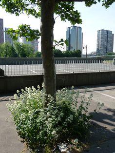 Valériane des jardins à fleurs blanches (Centranthus ruber 'Albus') au pied d'un platane en bord de Seine, Paris 16e (75), 27 mai 2012, photo Alain Delavie  http://www.pariscotejardin.fr/2012/06/un-bel-exemple-de-pied-darbre-bien-fleuri/