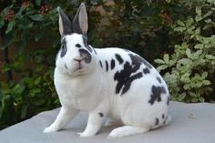 LOVE this broken blue otter mini rex Meat Rabbits, Bunny Rabbits, Mini Rex Rabbit, Rabbits For Sale, Otter, Cute Bunny Pictures, Beautiful Rabbit, Rabbit Breeds, Small Animal Cage