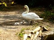 """Minding The Cygnets"""