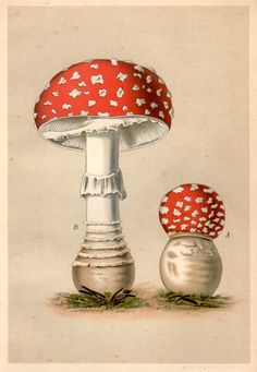 1901 Antique Botanical Print Agaricus Muscarinus by Craftissimo