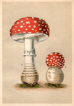 1901 Antique Botanical Print Agaricus Muscarinus by Craftissimo