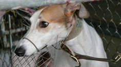 Petition · Chief Executive: Chui Sai On: Stop hundreds of greyhounds from being raced to death · Change.org