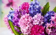 Kwiaty, Hiacynt