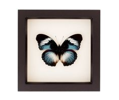 Blue Diadem Real Framed Butterfly Shadowbox by BugUnderGlass