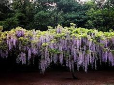 Image result for wisteria in the backyard