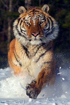 Tiger en la nieve