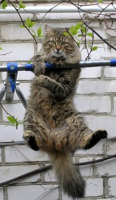Hanging In There! http://www.mainecoonguide.com/maine-coon-personality-traits/