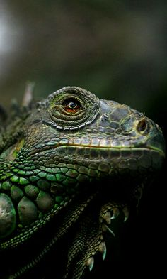 http://www.pinterest.com/nocturnalalley/critters-creatures-wild-things/  Iguana..