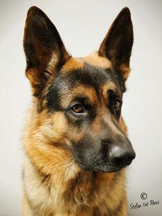 if it's not a german shepherd,... then it's just a dog.