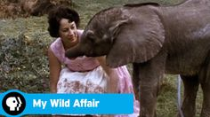 MY WILD AFFAIR   The Elephant Who Found a Mom   PBS  Thank you Miss Lina!!!