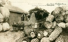 corn,farm,funny,postcard,vegetables-840e9b7b1781a38b282070fa8ccacb1a_h.jpg 500×310 pixels
