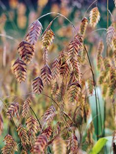 Northern Sea Oats in all it's russet colour fall glory.