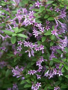 """Idea for edging a walkway, height medium 18-24"""", blooms early spring to late fall, zones 5-7, deer resistance, Leptodermis Oblonga"""