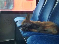 This fox was found sleeping on the seat of an OC Transpo bus in Ottawa this morning.