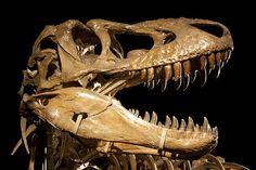 Tarbosaurus IMG_1209' by Jordi Payà Canals, via Flickr