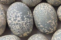 Guira Cuckoo (Guira guira), eggs 2006 © Rosamond Purcell