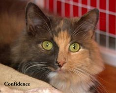 Confidence is an adoptable Domestic Long Hair Cat in Gaithersburg, MD. I came to AWLMC because my owner went through a separation and was no longer able to financially afford me.  I am a stunning long...