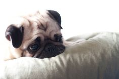 Pug, Reflecting by Ryan MacLean on Flickr.